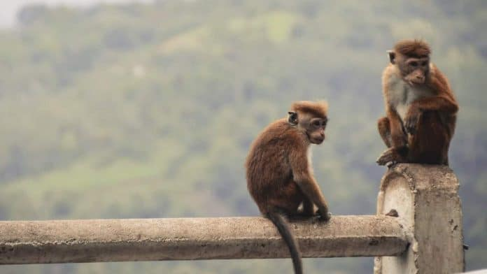 Cute monkeys, Sri Lanka